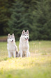 Two husky dogs walk in a summer park sitting on the grass
