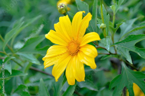 Photo Mexican sunflower or Mexican sunflower weed, Tithonia diversifolia