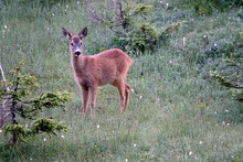 A Roebuck Yearling In The Morn...