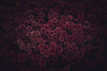 Moody Floral Dark Background. Mystical Deep Red Purple Flower On Black Background