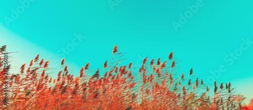 Photo sur Aluminium Vert corail Autumn grass and wildflower background. Dry reed grass blowing in the wind at golden sunset light, copy space on turquoise sky Nature, summer, fall season concept Vintage colors, wheat field in sunset