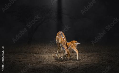 Mother deer feeding baby deers Axis axis Canvas Print