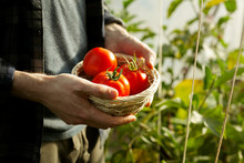 Farmer Holding Red Ripe Freshly Picked Tomatoes In Greenhouse Close-up With Copy Space.Harvesting And Gardening Concept.Horizontal Orientation