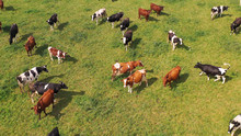 Aerial View Of Cows Herd Grazi...