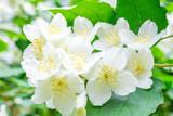 White jasmine bush blossoming in summer day