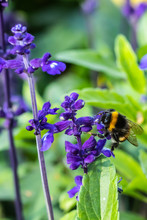 Close-up Of Bumblebee Collecting Pollen From A Blue Salvia Officinalis Flower At Summer