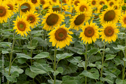 Fotomurales - Summer landscape: beautiful field yellow sunflowers. Used for the production of sunflower oil and roasted seeds