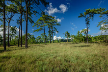 Savanna Landscape And Meadow Field , Pine Forest And Dry Grass With Blu Sky