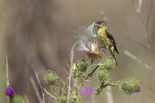 Lesser Goldfinch Foraging In A...
