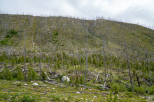 Burned Trees In The Salmon Challis National Forest Of Idaho Due To A Forest Fire