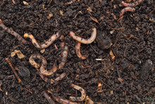 Earthworms In The Excellent Fertilizer Produced By Their Digestion.