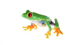 Red-eye Tree Frog  Agalychnis ...