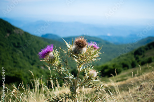Photo Silybum marianum milk thistle purple flower in the mountains, Montseny natural p
