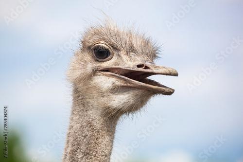 Strauß, Struthio camelus