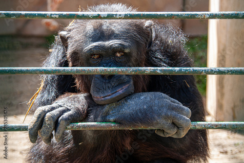 Obraz na plátně Chimp in cage living his life looking bored