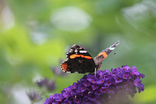 Red Admiral Butterfly Sitting On Purple Lilac