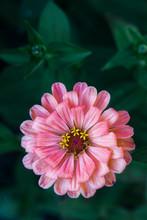 Pink Zinnia In A Garden