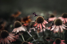 A Bee Hovers Above Dying Coneflowers