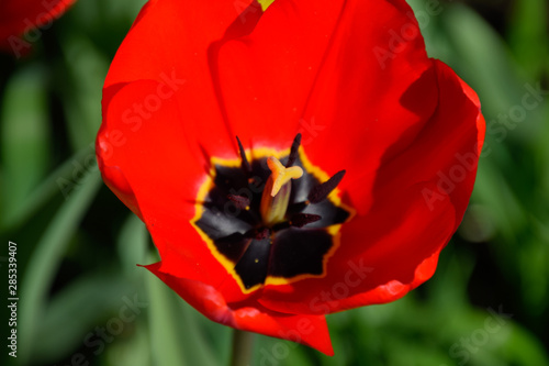Fototapeta  Red tulips bloom in the flowerbed. Flowering of tulips.