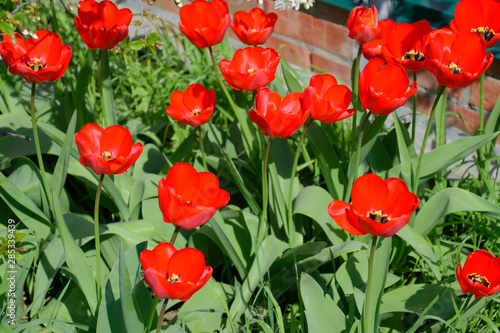 Fotografie, Obraz  Red tulips bloom in the flowerbed. Flowering of tulips.