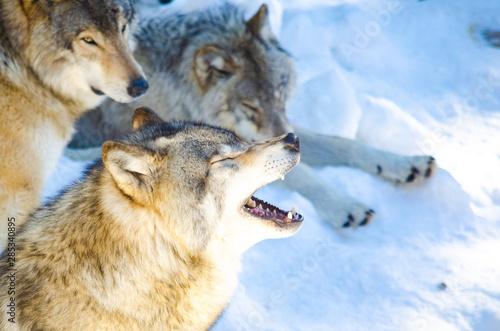 Papiers peints Loup Loup gris hurlant