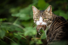 Cat Hunter With A Caught Mouse In Her Mouth