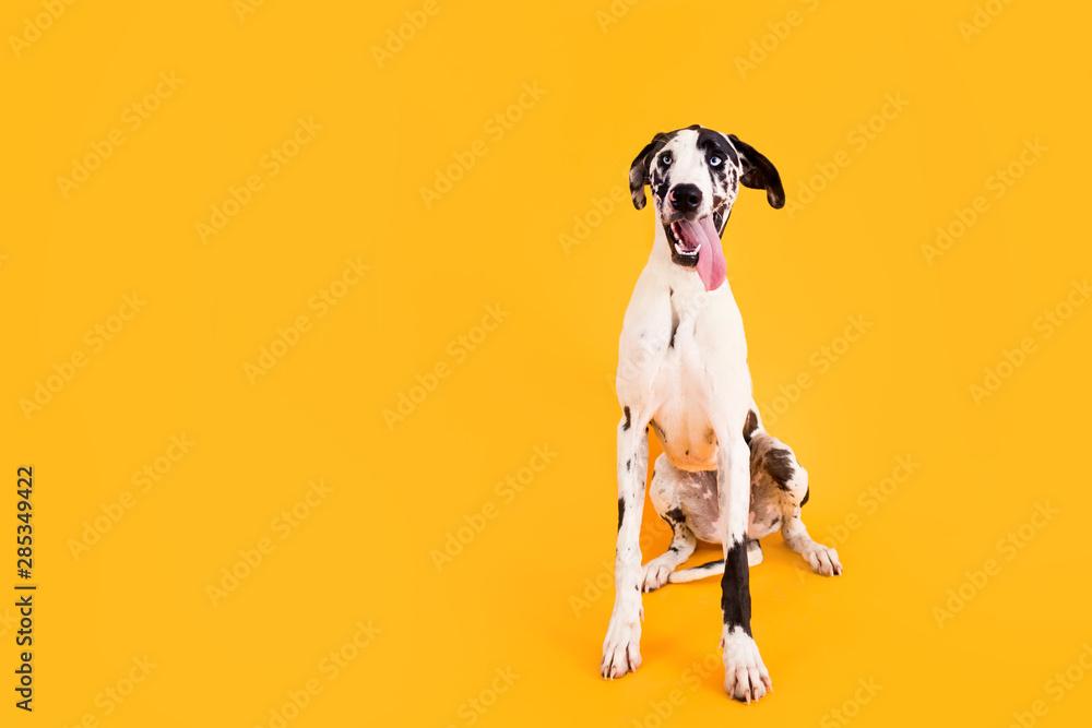 Fototapety, obrazy: Large Great Dane Dog on Yellow Background
