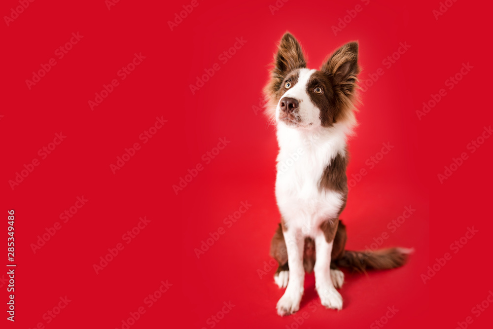 Fototapety, obrazy: Border Collie Dog on Red Isolated Background