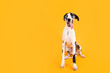 Large Great Dane Dog on Yellow Background
