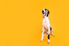 Large Great Dane Dog On Yellow...