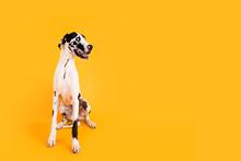 Large Great Dane Dog On Yellow Background