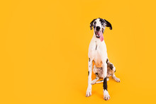Large Great Dane Dog On Yellow...