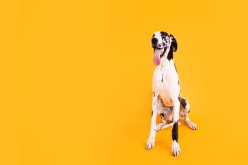 FototapetaLarge Great Dane Dog on Yellow Background