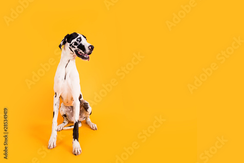 Large Great Dane Dog on Yellow Background Canvas Print
