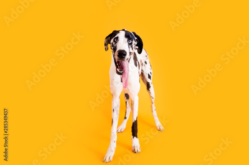 Large Great Dane Dog on Yellow Background Wallpaper Mural