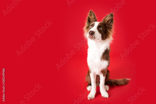 Border Collie Dog on Red Isolated Background Canvas Print