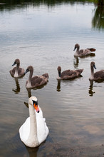 White Swans With Small Swans O...