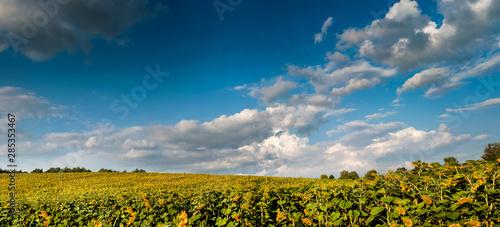 Fotografie, Obraz  view on sunflower field with cloudly sky