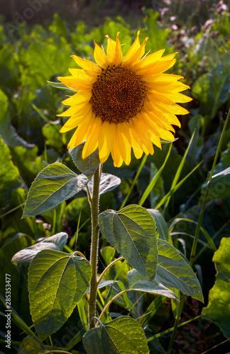 Fototapeta  flower of young sunflower separately alone