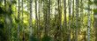 canvas print picture - Birkenwald in Finnland | Panorama