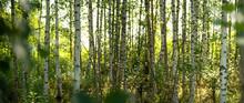 Birkenwald In Finnland | Panor...