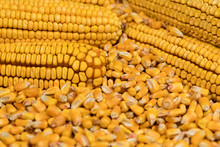 Closeup Of Ears Of Corn On A Pile Of Shelled Kernels