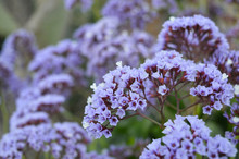 Purple Cluster Flowers With White Accents Fade Off Into The Distance