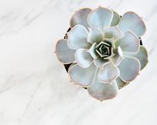 Grey Echeveria Succulent On Marble Background