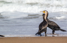 Bright Portrait Image In Warm Colors Of A Phalacrocorax Carbo (great Cormorant, Great Black Cormorant, Black Cormorant, Large Cormorant, Black Shag) Standing On The Beach