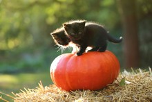 Halloween.Cat And Pumpkin.Two Fluffy Kittens On A  Orange Pumpkin On A Bale Of Straw In The Garden In The Bright Sunlight. Thanksgiving Day.Autumn Mood In Warm Tones.