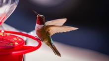 Anna's Hummingbird Wide