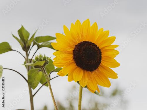 Fotomural  Gros plan sur une fleur de tournesol décoratif aux pétales jaune doré (Helianthu