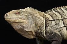 Hispaniolan Ground Iguana (Cyclura Ricordi)