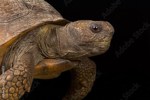 Gopher tortoise (Gopherus polyphemus) Tablou Canvas